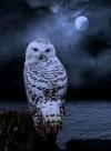 Snowy Owl gorgeous.