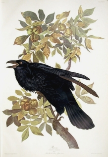 cuervo-raven